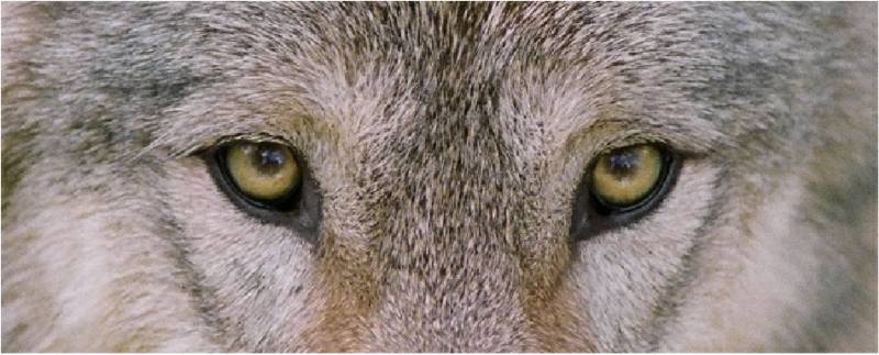 wolf eyes The Battle At Dawn